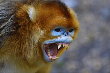 Portrait of a Golden snub-nosed monkey (Rhinopithecus roxellana) screaming and showing its teeth in Foping Nature Reserve, Shaanxi, China. Endangered species