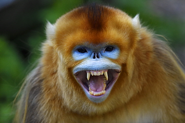 Portrait of a Golden snub-nosed monkey (Rhinopithecus roxellana) screaming and showing its teeth, Foping Nature Reserve, Shaanxi, China. Endangered species