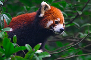 Red Panda (Ailurus fulgens) portrait, Wolong National Nature Reserve, Wenchuan County, Sichuan Province, China.