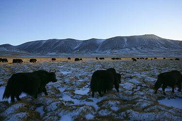 Wild yak (Bos mutus) herd walking across snowy grassland, Qinghai, Tibetan plateau, China, November