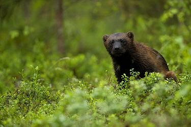 Wolverine (Gulo gulo) portrait in a forest, Finland, July