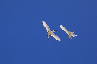 Red-tailed tropicbird (Phaethon rubricauda rothschildi) pair in courtship flight, Sand Island, Midway Atoll National Wildlife Refuge, Papahanaumokuakea Marine National Monument, Northwest Hawaiian Isl...