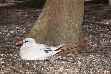 Red-tailed tropicbird (Phaethon rubricauda rothschildi) sitting on nest on ground, Sand Island, Midway, Atoll, Midway Atoll National Wildlife Refuge, Papahanaumokuakea Marine National Monument, Northw...