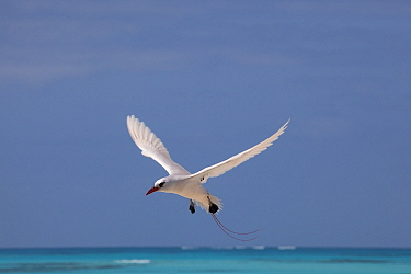 Red tailed tropic bird (Phaethon rubricauda rothschildi) in courtship flight, Sand Island, Midway Atoll National Wildlife Refuge, Papahanaumokuakea Marine National Monument, Northwest Hawaiian Islands...