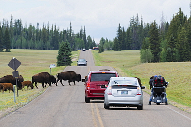 Herd of Bison (Bison bison) blocking the road, De Motte Park, Arizona, USA, July 2013.