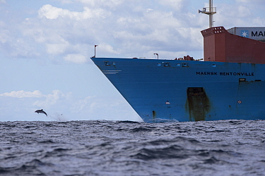 Pelagic Bottlenose dolphin (Tursiops truncatus ) rides the bow of a Maersk container ship,  Northern New Zealand