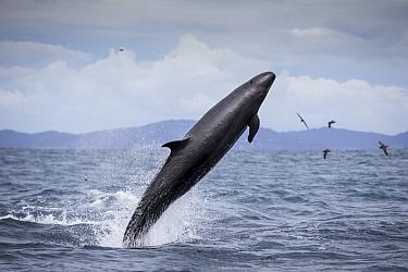 False killer whales (Pseudorca crassidens) breaching,  Northern New Zealand