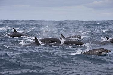 False killer whales (Pseudorca crassidens) traveling with a pod of pelagic Bottlenose dolphins (Tursiops truncatus), Northern New Zealand