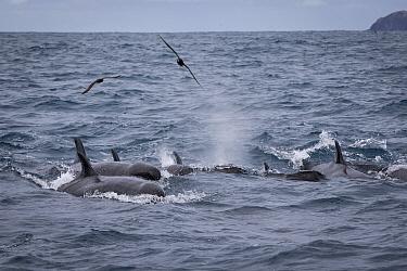 False killer whales (Pseudorca crassidens) followed by Black petrels (Procellaria parkinson), Northern New Zealand