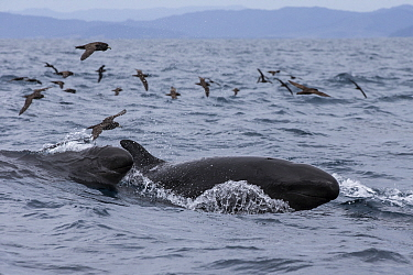False killer whales (Pseudorca crassidens) surfacing followed by Black petrels (Procellaria parkinson), Northern New Zealand