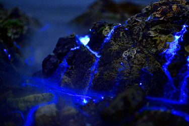 Bioluminescent Sea-fireflies (Vargula hilgendorfii)  washed up on shore, producing a bright blue light. The light is produced by mixing two chemicals together in the presence of oxygen and is for mati...