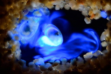 Bioluminescent Sea-fireflies (Vargula hilgendorfii) producing a bright blue light. The light is produced by mixing two chemicals together in the presence of oxygen and is for mating displays or defenc...