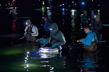 Local fisherman catching the Bioluminescent Firefly squid (Watasenia scintillans)  along the shore of Toyama Bay, in the central Japan Sea.Toyama, Japan.  April 2017.