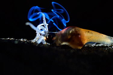 Firefly squid (Watasenia scintillans) on sea floor. This individual is not producing bioluminescence,  but bioluminescence from  another squid behind can be seen,  Toyama Bay, Japan, April.