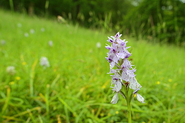 Heath spotted orchid (Dactylorhiza maculata) flowering on hillside grassland,  Carmarthenshire, Wales, UK, June.