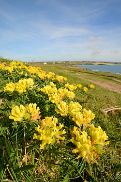 Kidney vetch (Anthyllis vulneraria) flowering on coastal grassland, Constantine Bay, Cornwall, UK, April.