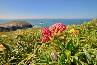Red form of Kidney vetch (Anthyllis vulneraria) flowering on coastal grassland, Trevose Head, Cornwall, UK, May.