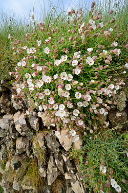 Sea campion (Silene maritima) flowering in a clump on an old stone wall near thre coast, Cornwall, UK April.