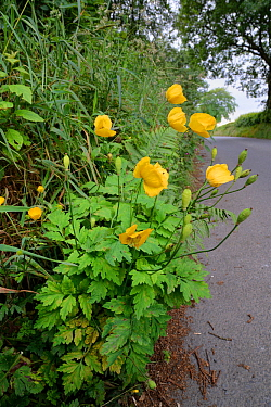 Welsh poppy (Meconopsis cambrica) flowering on a roadside verge, Ceredigon, Wales, UK, June.