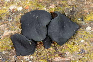 Black bulgar fungus (Bulgaria inquinans) growing from a rotting log in woodland, Gloucestershire, UK, October.