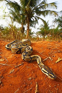 Royal python (Python regius) Togo. Controlled conditions