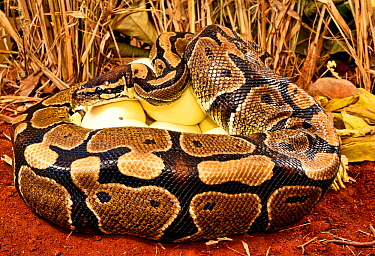 Royal python (Python regius) female with ticks on the side of her head, incubating eggs, Togo. Controlled conditions
