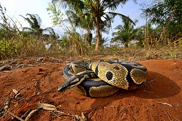 Royal python (Python regius) curled up into a ball, Togo. Controlled conditions
