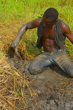 Man catching African lungfish (Protopterus annectens annectens) buried in mud of dried river bed, Togo.