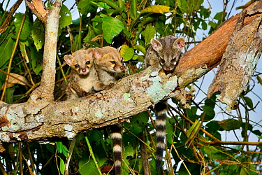 Common genet (Genetta genetta) juveniles in tree, Togo. Controlled conditions.