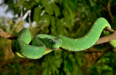 West African tree viper (Atheris chlorechis) portrait, Togo. Controlled conditions