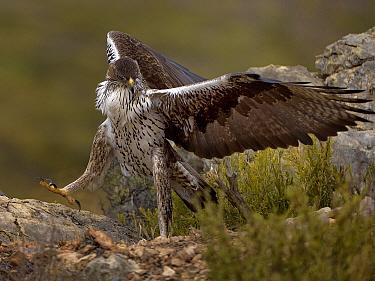 Bonellis eagle (Aquila fasciata) with rabbit prey, Valencia, Spain, February