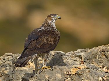 Bonellis' eagle (Aquila fasciata) perched on rock, Valencia, Spain, February