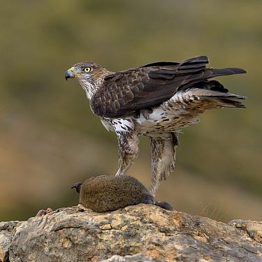 Bonellis' eagle (Aquila fasciata) with rabbit prey, Valencia, Spain, February