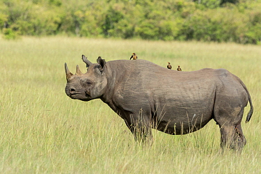 Black rhino (Diceros bicornis), with Yellow-billed oxpeckers (Buphagus africanus) sitting on back and feeding on insects, Masai-Mara Game Reserve, Kenya