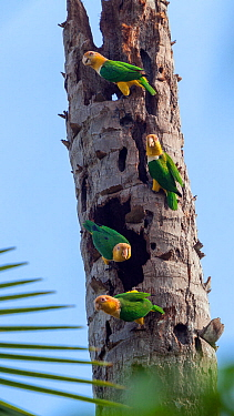 White-bellied parrots (Pionites leucogaster xanthomeri) in rainforest, Tambopata National Reserve, Peru.