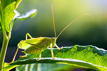 Upland Green bush-cricket (Tettigonia cantans) male, Bavaria, Germany, August.