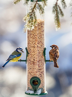 Blue tit (Cyanistes caeruleus) and Tree sparrow (Passer montanus)  at feeder in winter,  Bavaria, Germany, February.