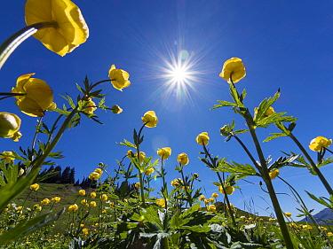 Globe flowers (Trollius europaeus) and bright sunshine, Augstmatthorn Mountain, Swiss Alps, Switzerland, Europe