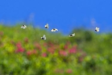 Black-veined white butterflies (Aporia crataegi)  flying over mountain meadow, Alps, Austria, July.