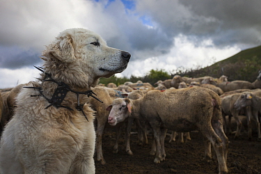 Maremma Sheepdog wearing traditional anti-wolf spiked collar, locally known as 'vreccale'. Gran Sasso National Park, Abruzzo, Italy, June.