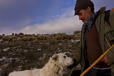 Shepherd, with Maremma Sheepdog wearing traditional anti-wolf spiked collar, locally known as 'vreccale'. Gran Sasso National Park, Abruzzo, Italy, June.