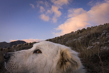 Maremma Sheepdog, close up with herd in the backgruond, Gran Sasso National Park, Abruzzo, Italy, June.
