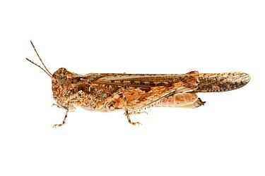 Grasshopper  (Pycnostictus seriatus) William Bay National Park, Western Australia. Meetyourneighbours.net project.