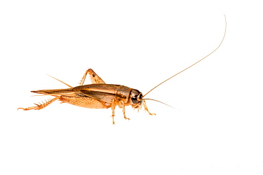 Bush cricket (Lepidogryllus sp.) William Bay National Park, Western Australia. Meetyourneighbours.net project.