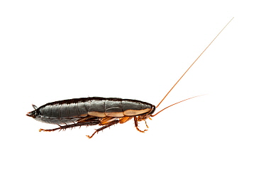 Western woodrunner cockroach (Drymaplaneta semivitta) William Bay National Park, Western Australia. Meetyourneighbours.net project.