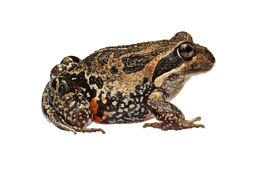 Western banjo frog (Limnodynastes dorsalis) William Bay National Park, Western Australia. Meetyourneighbours.net project.