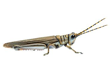 Western Acacia Grasshopper, new species, William Bay National Park, Western Australia. Meetyourneighbours.net project.