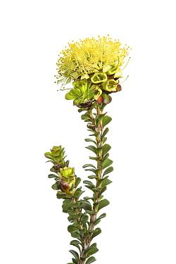 Spearwood flowers (Kunzea ericifolia) William Bay National Park, Western Australia. Meetyourneighbours.net project.