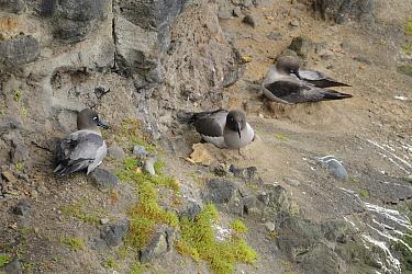 Light mantled sooty albatross (Phoebetria palpebrata) nesting on cliffs. Enderby Island. Auckland Islands.  Subantarctic New Zealand.