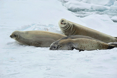 Weddell seal (Leptonychotes weddellii) resting on ice edge.  Commonwealth Bay.  East Antarctica.